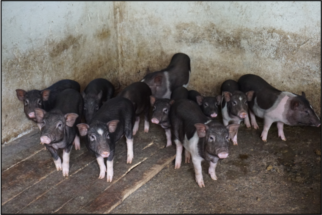 Pigs in a traditional sty. Credit: Center 4 Creativity & Sustainability.