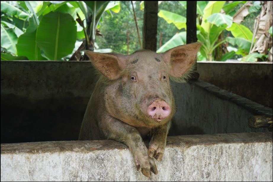 A pig farm in Vietnam. Credit: Center 4 Creativity & Sustainability.