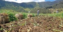 Onion field in Colombia.