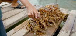 Lobsters in Honduras.